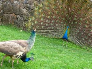 Peacock_Flirting