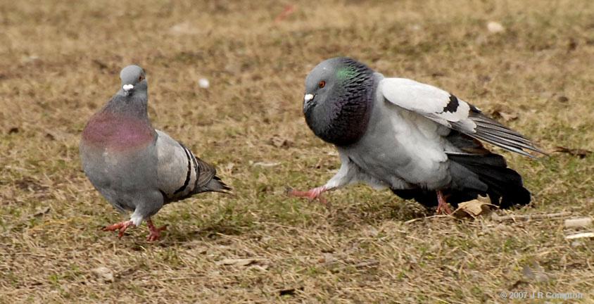голубей порно секс